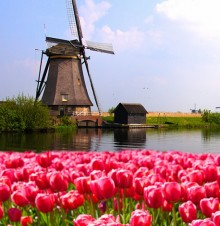 image of windmill in field of tulips